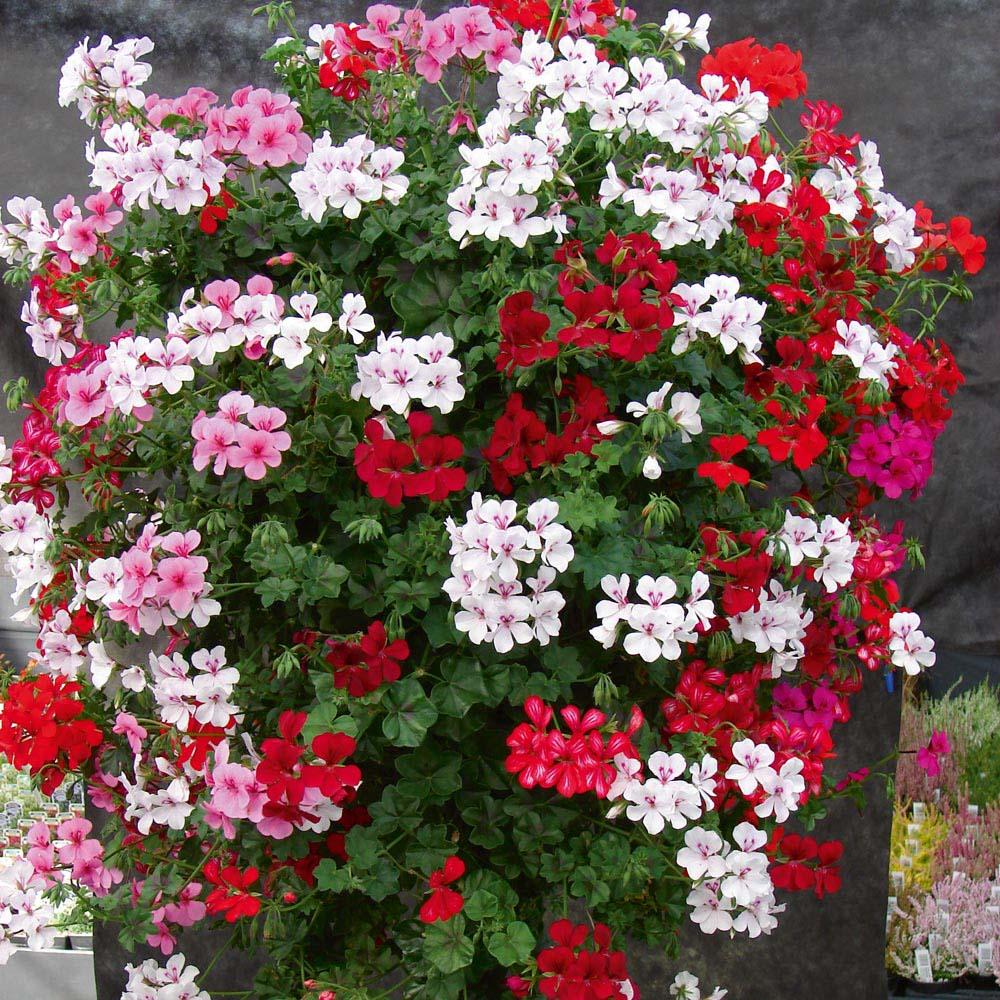 geranium hang